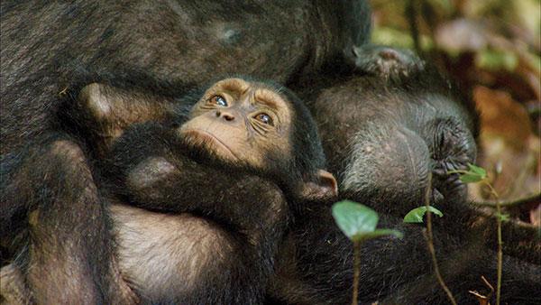 Chimpanzee_Grooming