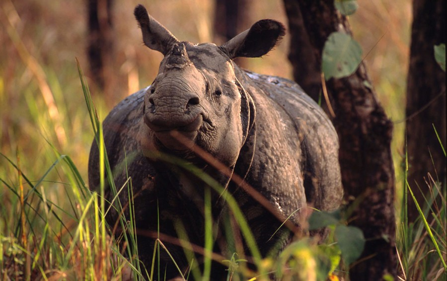 Indian rhinoceros, Nepal