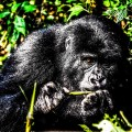 God_Of_Mountain_Gorilla