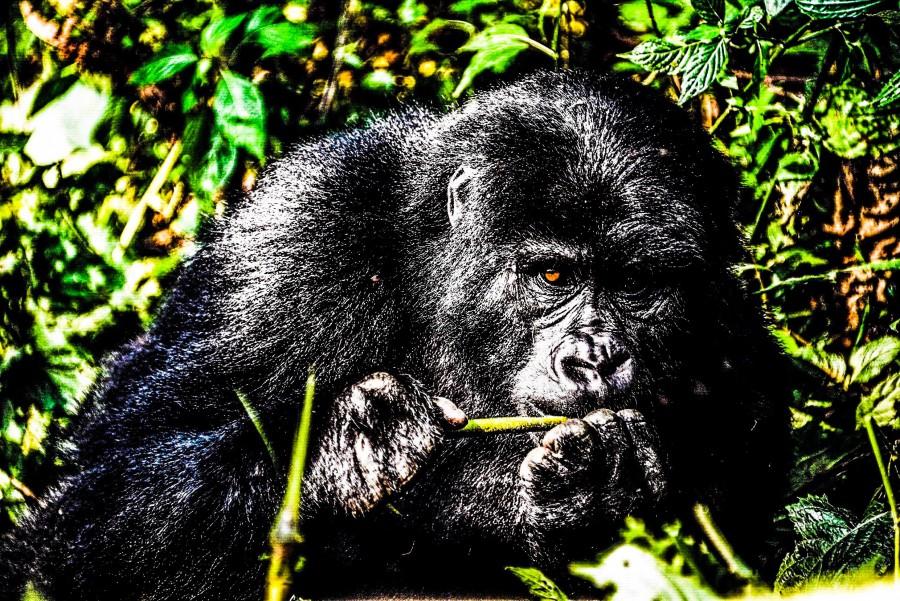 God_Of_Mountain_Gorilla